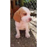 Cachorros Beagle Para Apartar