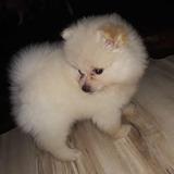 Hermoso Pomerania Mini