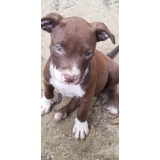 Perros Pitbull