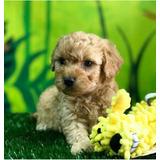 Hermoso Poodle Toy